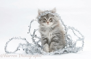 Maine Coon kitten, 8 weeks old, with tinsel