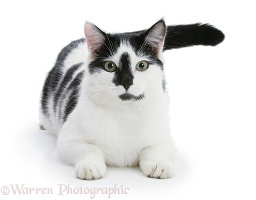 Black-and-white cat lying with head up
