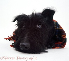 Scottie dog with a tartan scarf on