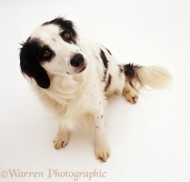 Springer Spaniel x Border Collie dog