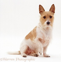Prick-eared Jack Russell Terrier x Yorkie dog