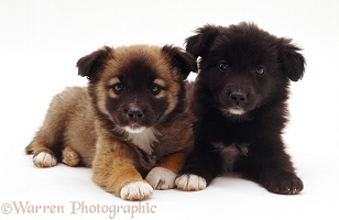 Cute mongrel pups