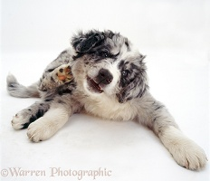 Blue merle Border Collie pup scratching his neck