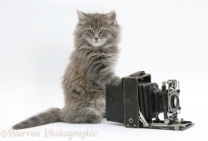 Maine Coon kitten playing with a camera