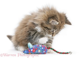 Maine Coon kitten, 8 weeks old, playing with a toy mouse