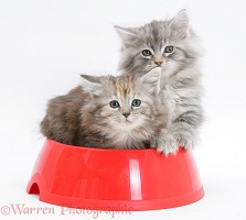 Maine Coon kittens, 8 weeks old, in a plastic food bowl