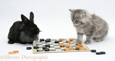 Maine Coon kitten and black rabbit playing draughts