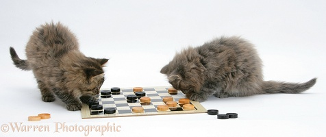 Maine Coon kittens playing draughts