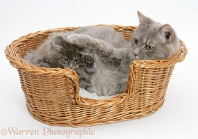 Maine Coon cat and kitten in a basket