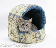 Maine Coon cat in an igloo cat bed