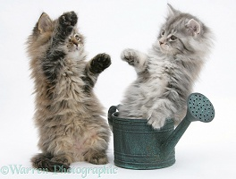 Maine Coon kittens playing with a small watering can