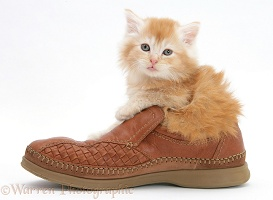 Ginger Maine Coon kitten, 7 weeks old, in a shoe