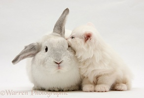 White Maine Coon kitten and white rabbit