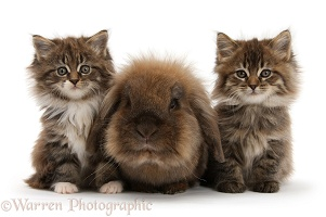 Maine Coon kittens, 7 weeks old, and Lionhead rabbit