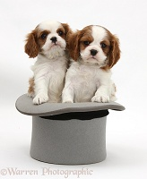 Cavalier King Charles Spaniel pups in a top hat