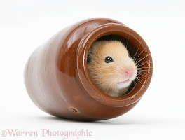 Golden Hamster hiding a china pot