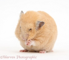 Golden Hamster washing itself