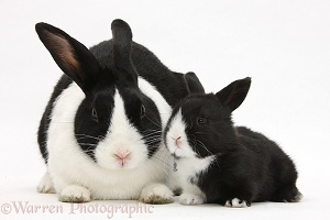 Mother and baby black-and-white Dutch rabbits