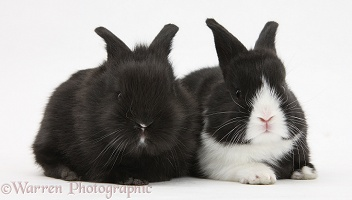 Baby black-and-white Dutch rabbits