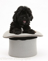 Black Pooshi (Poodle x Shih-Tzu) pup in a top hat