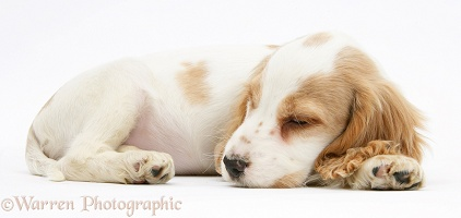 Orange roan Cocker Spaniel pup sleeping