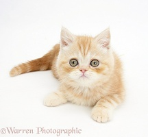 Ginger kitten lying with head up