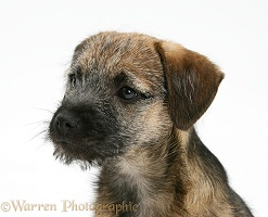 Border Terrier pup in profile
