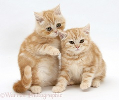 Ginger kittens, one whispering in the ear of the other