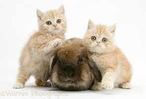Ginger kittens with Lionhead rabbit