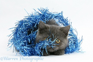 Grey kitten hiding in blue Christmas tinsel