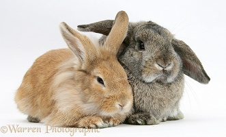 Sandy Lionhead rabbit nuzzling agouti Lop rabbit