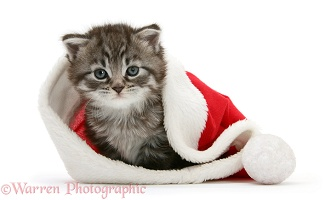 Maine Coon Kitten in a Santa hat