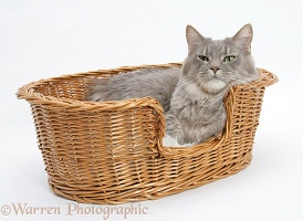 Maine Coon cat in a basket