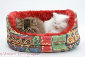 Maine Coon kittens, 8 weeks old, asleep in a cat bed