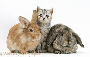 Silver tabby kitten and a rabbits
