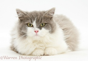 Ragdoll x British Shorthair kitten, 12 weeks old