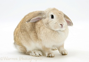Sandy Lop rabbit