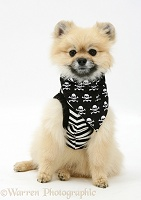 Pomeranian wearing pirate costume