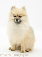 Pomeranian with glasses