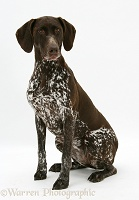 German Pointer bitch, sitting