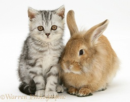 Silver tabby kitten and sandy Lionhead rabbit