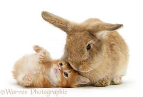 Ginger kitten with Lionhead-cross rabbit