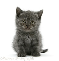 Grey kitten sitting with raised paw