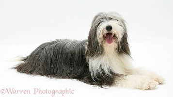 Bearded Collie lying with head up