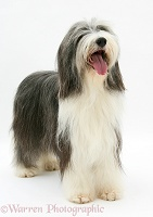 Bearded Collie standing