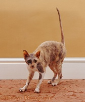 adult cats shorthair cats breeds of cat adult cats only Usual Abyssinian Kittens