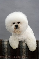 Bichon Frise with paws over