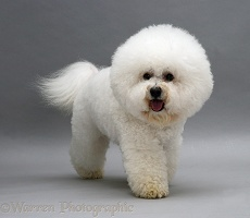 Bichon Frise, trotting forward