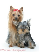 Yorkshire Terrier in show coat with pup