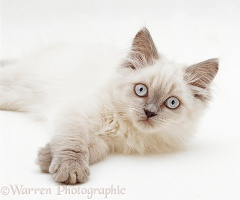 Lilac colourpoint Persian-cross kitten